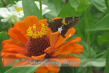 silver-spotted-skipper
