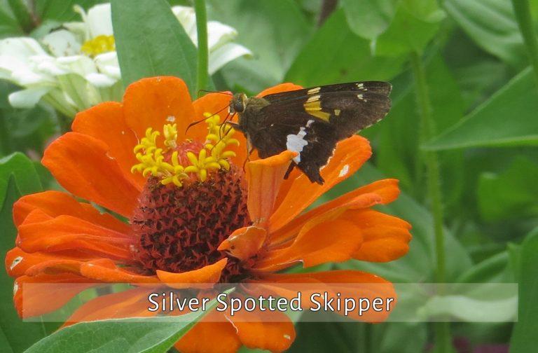 silver-spotted-skipper