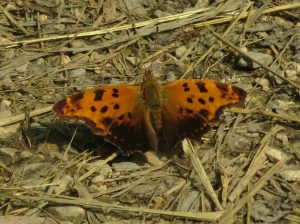 eastern_comma
