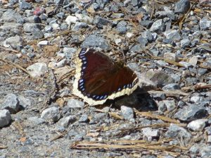 mourning_cloak