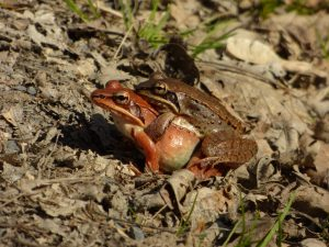 Mating_Wood_Frogs